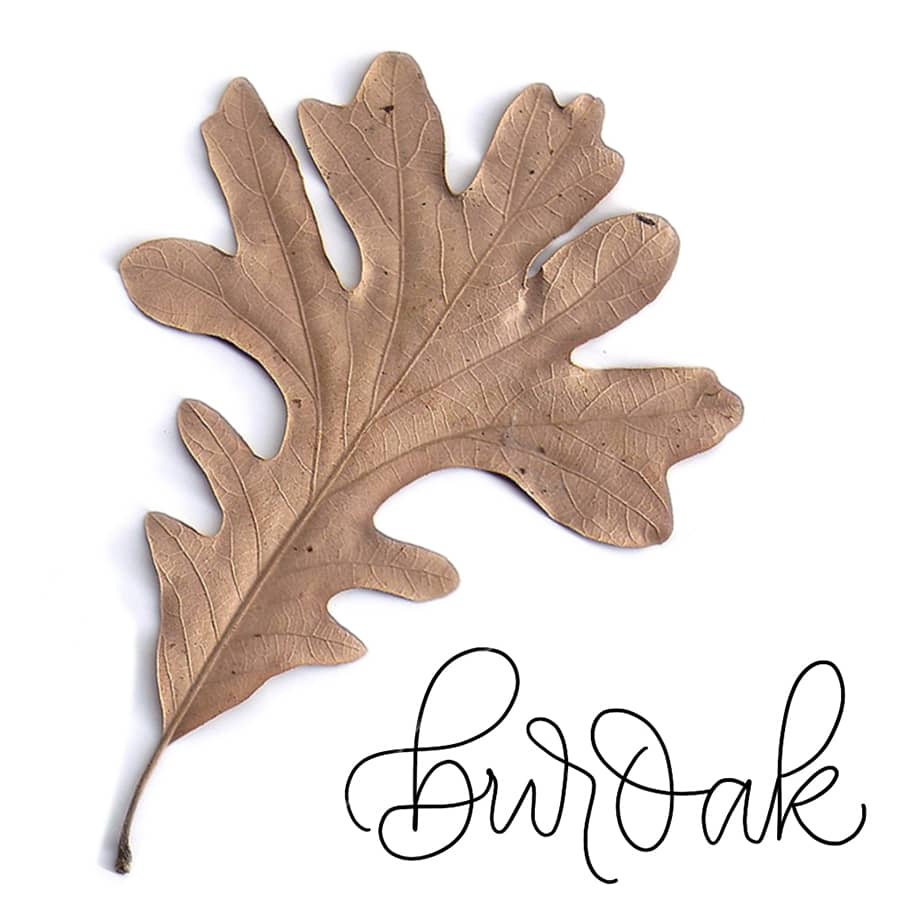 bur leaf oak reference