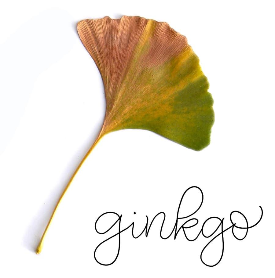 ginkgo reference leaf