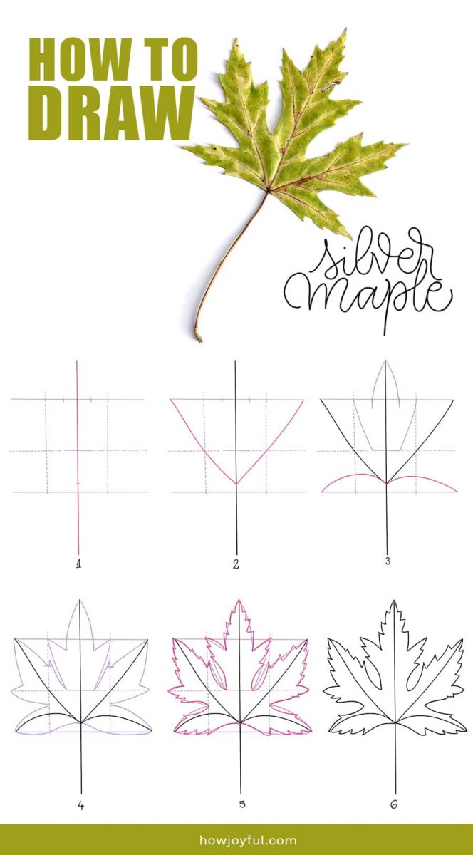 how to draw silver maple leaf